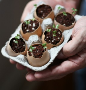 Eggshell planters seedlings